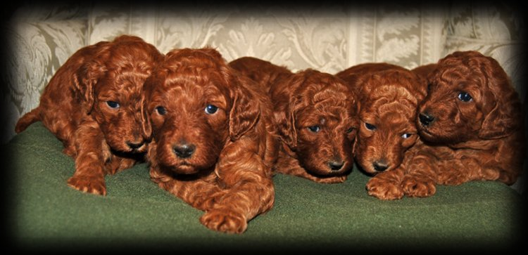 Litter of red standard poodles.