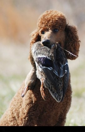 Louter Creek Red Hunting Poodles