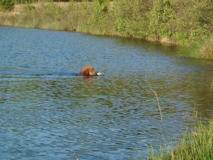 Cooper retrieving a duck in the water.