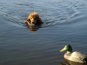 Cooper coming to shore with a duck