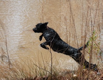 Gunny leaping into the water.