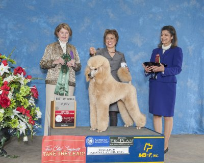 Splasher's Wind Beneath My Wings shown winning Best Puppy at the Cenral Carolina Poodle Club Show 3/23/13.